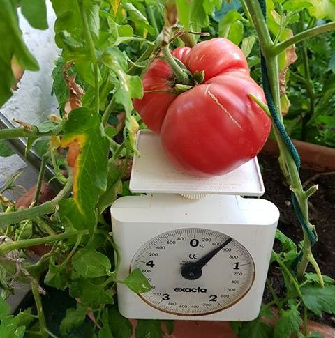 Rückingen Hat Die Größten Tomaten Erlensee Aktuell
